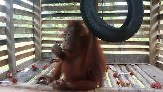 Baby Orangutan Rescued After Four Years In Captivity