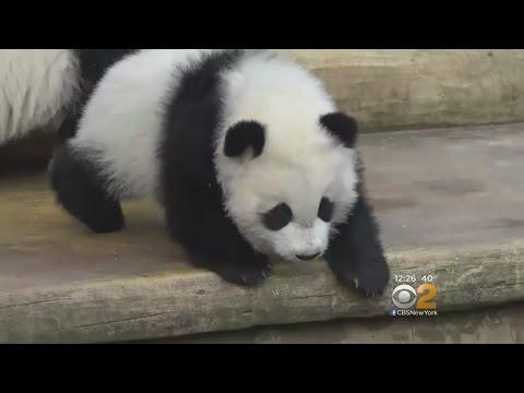 Giant Panda Twinss Make Debut
