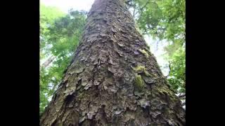 Humungous Tree - BNL