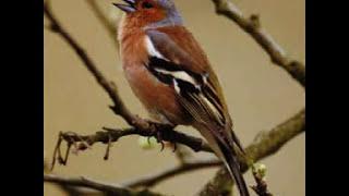Uccelli di campagna e zone collinari (versi) 2 di 2
