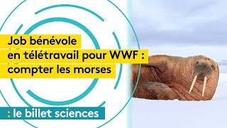 ONG cherche volontaires en télétravail pour compter les morses de l'océan Arctique