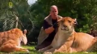 лев+тигр=лигр