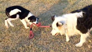 Cutt&lovely Dog可愛い子犬 4ヶ月のボーダーコリーテオくん.