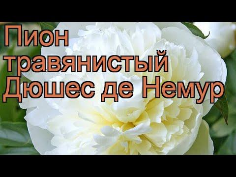 Пион травянистый Дюшес де Немур (paeonia) 🌿 обзор: как сажать, рассада пиона Дюшес де Немур