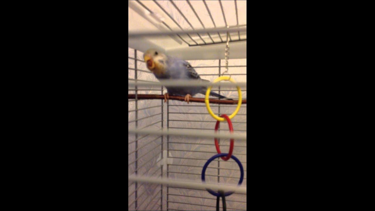 Попугай открывает рот и вытягивает шею