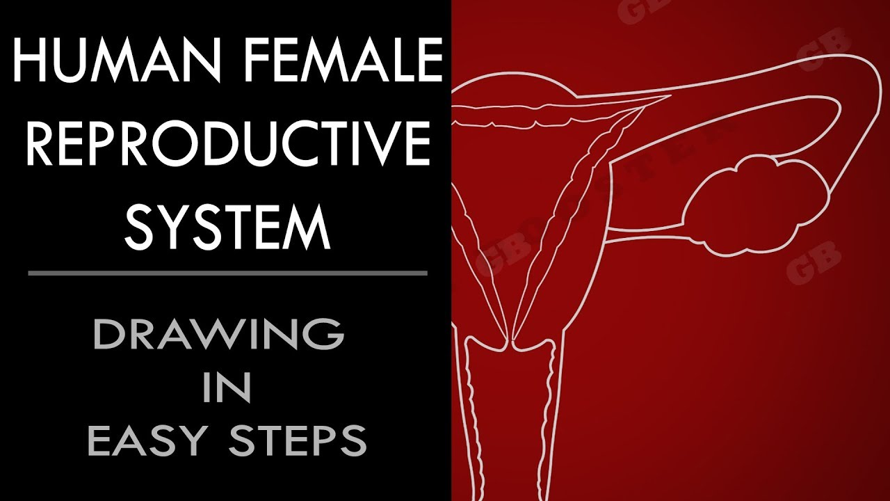 How to draw #female reproductive system in easy steps