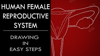 How to draw female reproductive system in easy steps :10th Biology : CBSE : ncert class 10 : Science