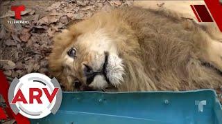 Júpiter el león casi muere por depresión y al fin tendrá un final feliz | Al Rojo Vivo | Telemundo