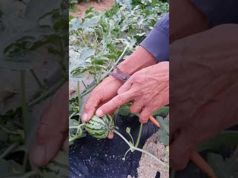 농사51년노하우 수박농사 수박순치는방법