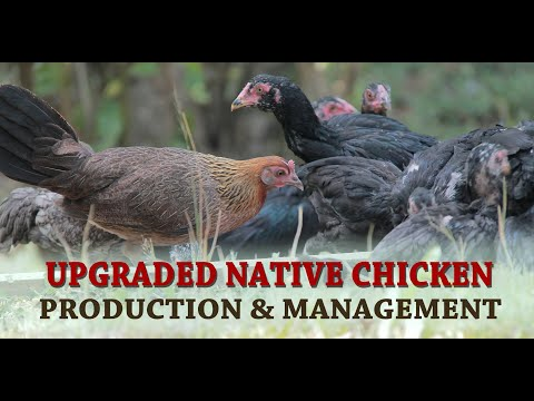 Upgraded Native Chicken Production & Management