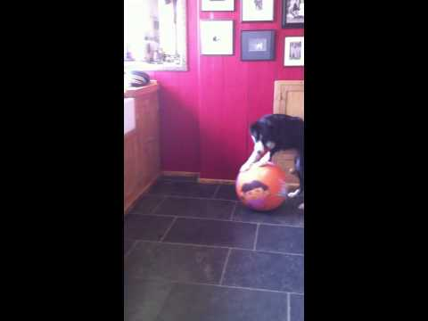 Nellie does 'on the ball' (balance and proprioception skills)