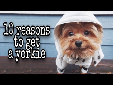 10 Reasons to get a Yorkie