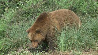 Un oso se fuga del Parque Natural de Cabárceno