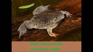 Земноводные (лягушки и жабы) Часть-2-Уникальные формы жизни