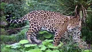 ягуар животное часть  9