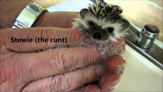 Video Bath Time for 5 week old baby hedgehogs download MP3, 3GP, MP4, WEBM, AVI, FLV Juni 2018