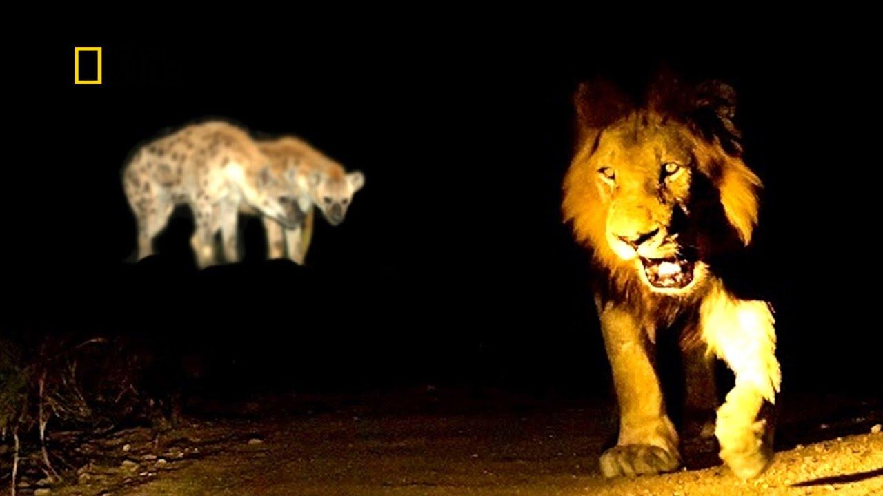 SAVUTI'S  WILD PREDATORS ✧ HD NATIONAL GEOGRAPHIC DOCUMENTARY ✧ Lions, Hyenas & Leopards