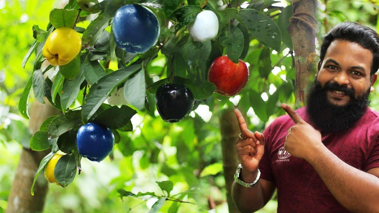 6 നിറങ്ങളിൽ കായ്ക്കുന്ന ആപ്പിൾ കേരളത്തിൽ  | BLACK AND BLUE APPLE | CAMP SETTERS