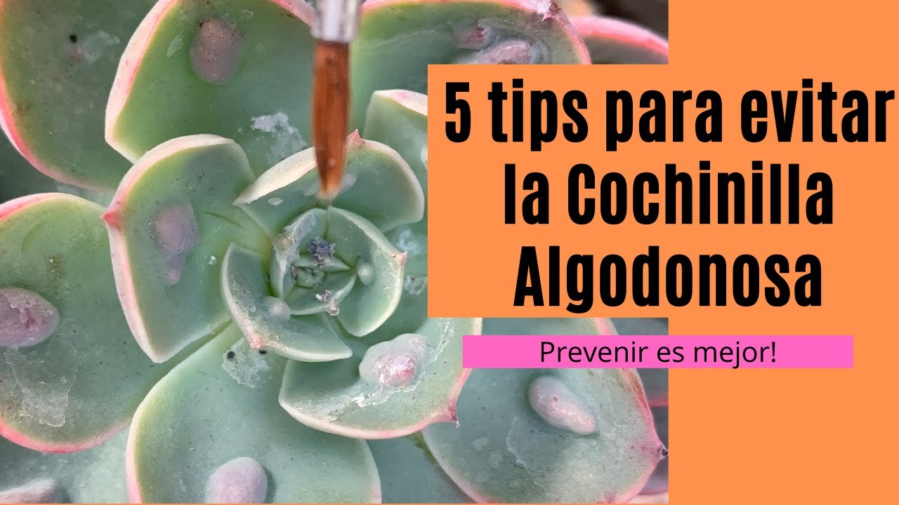👩🏼🌾 5 Tips para evitar a la cochinilla algodonosa / Mejor prevenir