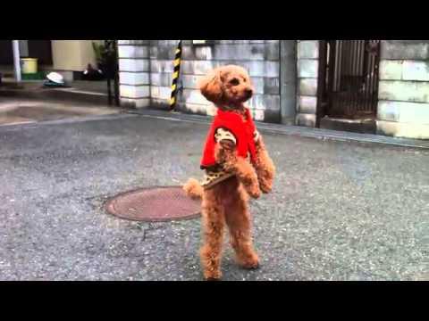 Dog walks on two legs