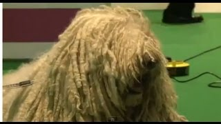 Amazing Dogs - Komondor