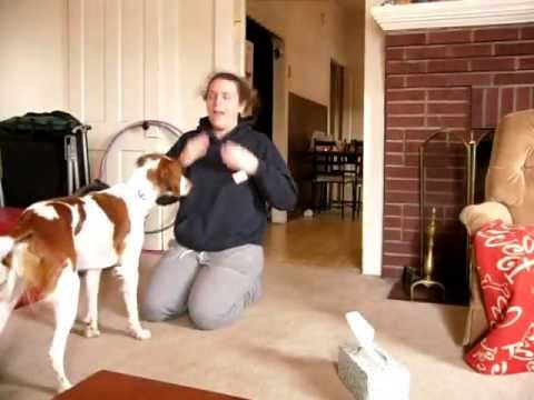 AMAZING Dog Tricks By Pan, the Brittany Spaniel