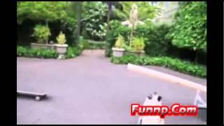 Funny Pug Stunts