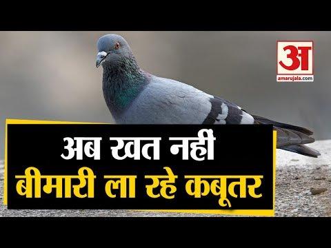 Pigeon Spread Lungs Diseases | कबूतरों से हो रहा बड़ा नुकसान, फैला रहे जानलेवा बीमारी | Amar Ujala