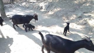 Zoo Bratislava 25-09-2016 Kamerunske kozy