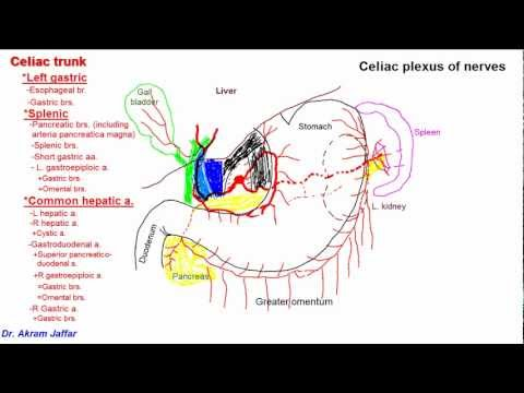 Anatomy of celiac trunk