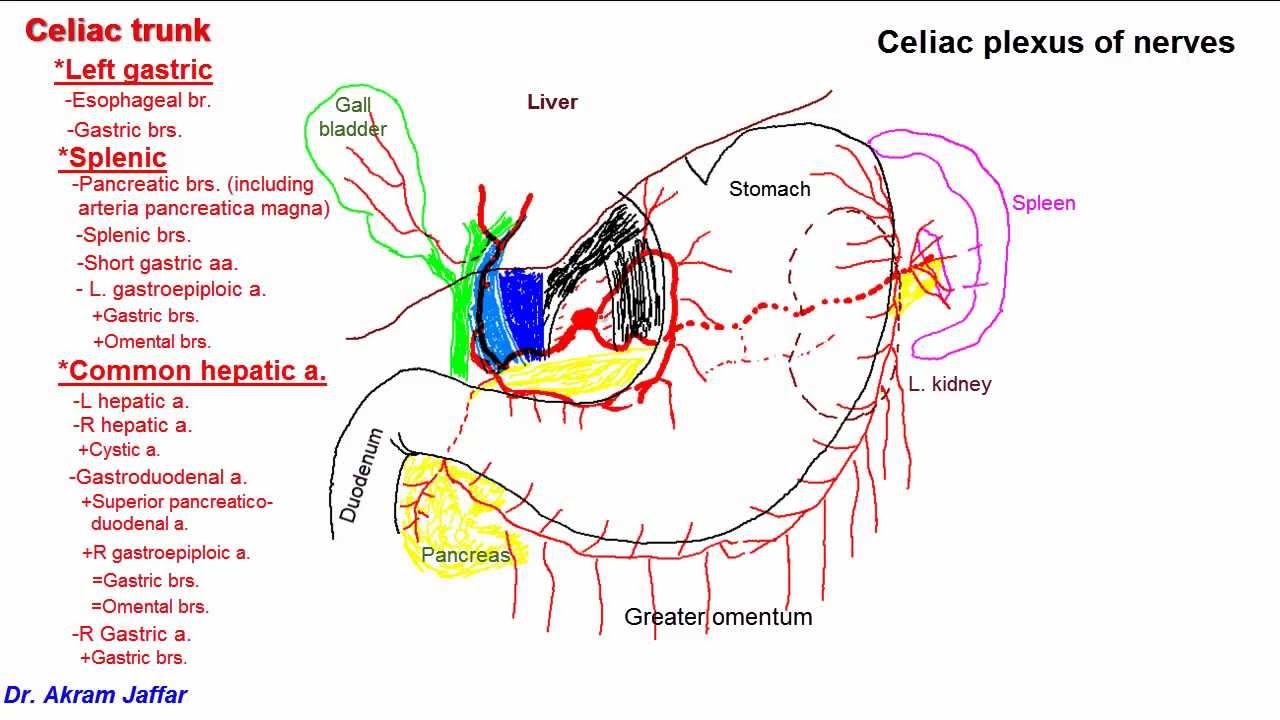 Celiac trunk anatomy