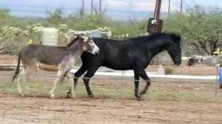 Video Burro en celo al ver tremenda yegua ► MIRA COMO LA PERSIGUE HASTA QUE LA CONSIGUE download MP3, 3GP, MP4, WEBM, AVI, FLV Juli 2018