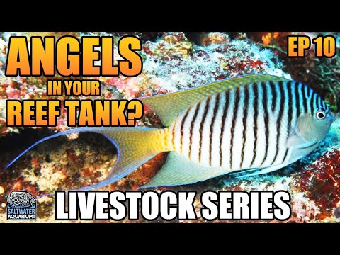 Angels In Your Reef Tank? - Livestock Series