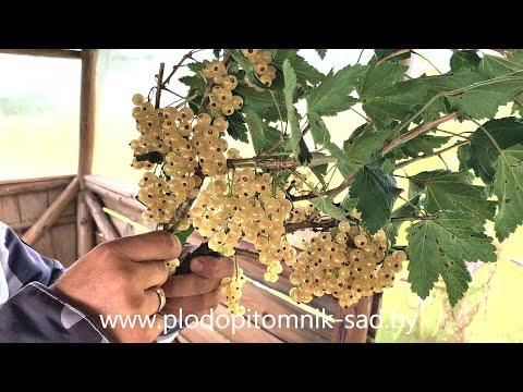 Смородина белая Ютерборгская описание сорта, плодоношение в питомнике растений.