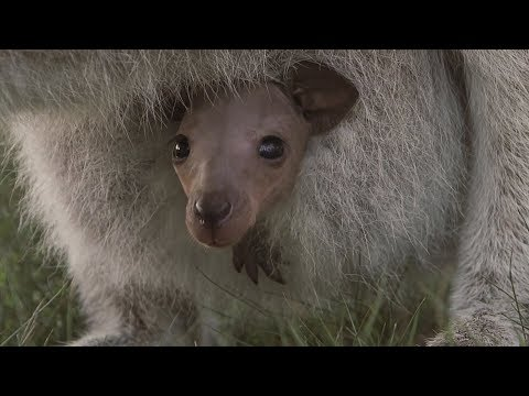 Hairless Wallaby Joey sees the world for the first time!