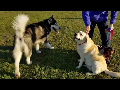 Malamute Meets Friends At The Dog Park!!