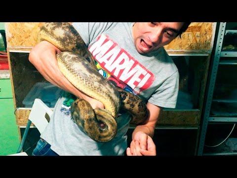 УДАВ ПРИНЯЛ МЕНЯ ЗА КОРМ (18+) Рассказ про укусы змей. Ссаживаю кобр