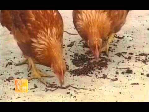第一碟 大田养殖蚯蚓新技术