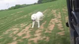 White German Shepherd Exercise In Texas