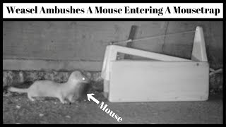 Weasel Ambushes A Mouse Entering A Box Mousetrap I Purchased On Ebay