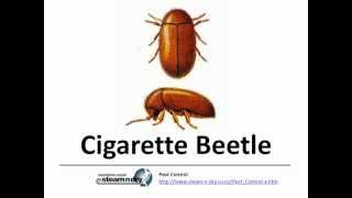 Flea Control Pest Cigarette Beetle