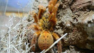 Unboxing doroslej samiczki P.murinus ~ 5DC