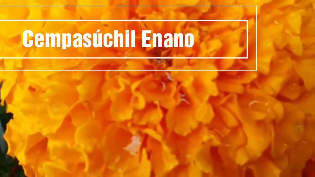 Cempasúchil Enano/Tagetes Enana/ Fechas de Siembra y Tiempo que tarda en dar Flores