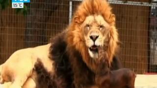 Нежная дружба льва и таксы шокирует посетителей зоопарка