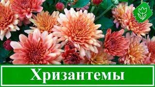 Смотреть видео хризантемы стали коричневыми