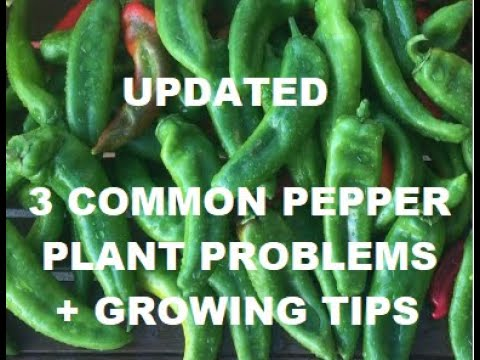UPDATED – 3 common pepper plant problems – + growing TIPS
