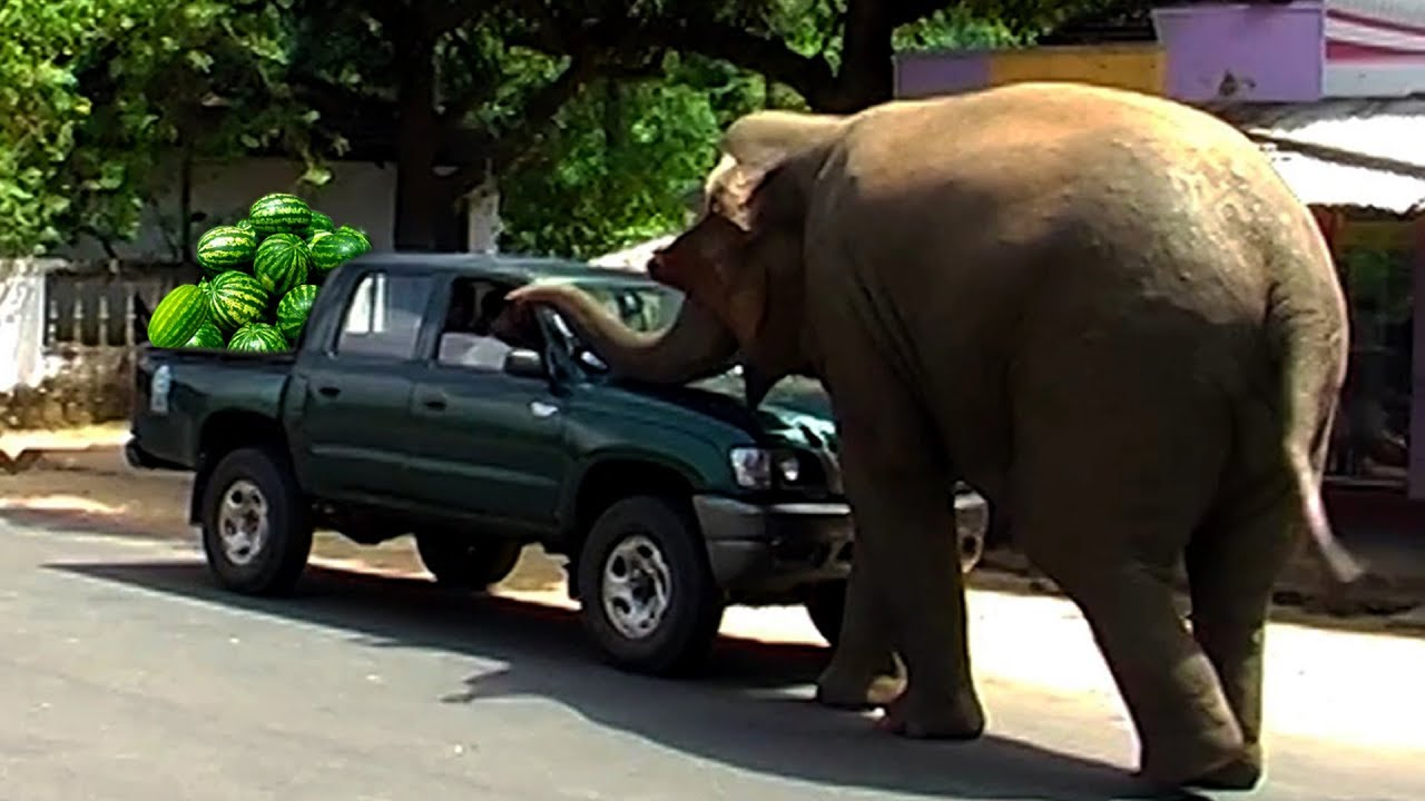 Wild elephant in a village finds his new home