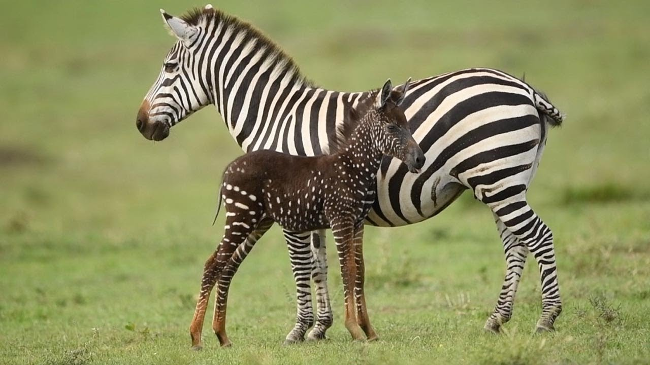 Rare Spotted Zebra Foal Youtube