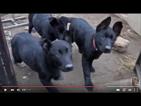 Донецк, украина · альбомы · фотографии 65. Готовятся к продаже щенки среднеазиатской овчарки (алабай) д. Р. За приемлемую цену. Мне не. Почему стоить купить подставки под миски для кормления собаки именно такой.