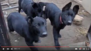 ГИГАНТСКИЕ ЧЕРНЫЕ ЩЕНКИ Немецкой Овчарки. Enormous black German Shepherd puppies. Одесса.